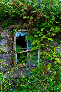 Broken window overgrown with ferns, Kells Seaside Area, Ring of Kerry, Iveragh Peninsula, County Kerry, Ireland, Europe. September 2015.  -  Juan  Carlos Munoz