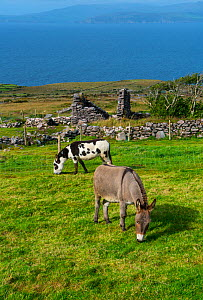Donkeys grazing in Kells Seaside Area, Ring of Kerry, Iveragh Peninsula, County Kerry, Ireland, Europe. September 2015.  -  Juan  Carlos Munoz