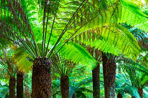 Arborescent Ferns (Cyatheaceae), Kells Bay Gardens, Ring of Kerry, Iveragh Peninsula, County Kerry, Ireland, Europe. September 2015.  -  Juan  Carlos Munoz