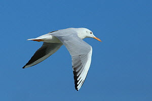 Slender billed gull (Chroicocephalus genei) in flight, Oman, November  -  Hanne & Jens Eriksen