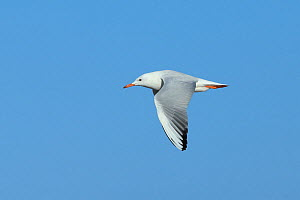Slender billed gull (Chroicocephalus genei) adult in flight, Oman, December  -  Hanne & Jens Eriksen