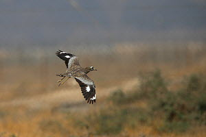Spotted thick knee (Burhinus capensis) in flight, Oman, January - Hanne & Jens Eriksen