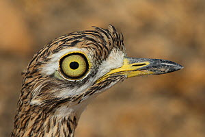 Spotted thick knee (Burhinus capensis) close up of head, Oman, January - Hanne & Jens Eriksen
