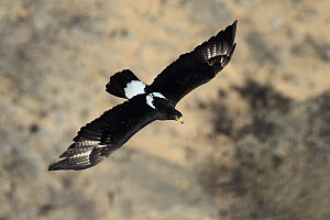 Verreaux's eagle (Aquila verreauxii) adult in flight, Oman, February  -  Hanne & Jens Eriksen
