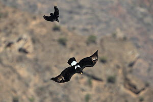 Verreaux's eagle (Aquila verreauxii) adult in flight chased by Fan tailed Raven, Oman, February  -  Hanne & Jens Eriksen