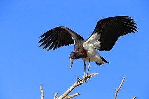 Abdim's stork (Ciconia abdimii) stretching wings from perch, Oman, February  -  Hanne & Jens Eriksen