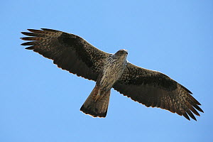 Bonelli's eagle (Aquila fasciata) adult in flight, Oman, November  -  Hanne & Jens Eriksen