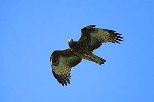 Crested honey buzzard (Pernis ptilorhynchus) in flight, Oman, January - Hanne & Jens Eriksen