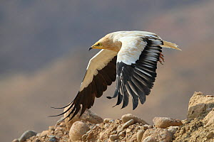 Egyptian vulture (Neophron percnopterus) adult in flight, taking off, Oman, November  -  Hanne & Jens Eriksen