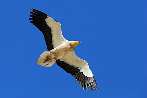Egyptian vulture (Neophron percnopterus) adult in flight, Oman, January  -  Hanne & Jens Eriksen