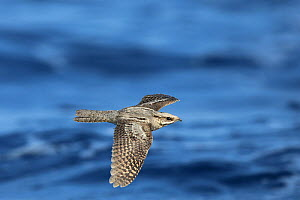 European nightjar (Caprimulgus europaeus) in flight over the sea, Oman, October - Hanne & Jens Eriksen