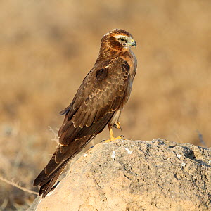 Montagu's harrier (Circus pygargus) female on rock, Oman, November  -  Hanne & Jens Eriksen