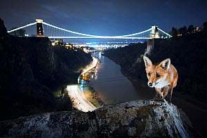 Red fox (Vulpes vulpes) vixen in front of Clifton Suspension Bridge at night. Avon Gorge, Bristol, UK. March 2016. - Sam Hobson