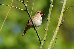 Nightingale (Luscinia megarhynchos) singing in tree near Pulborough, West Sussex, England, UK. May. - Peter  Lewis