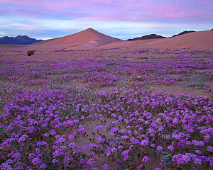 Sand verbena (Abronia villosa) blooming at the base of sand dunes, during super bloom caused by El Nino weather Death Valley, California, USA. February 2016 - Floris  van Breugel