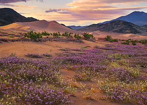 Sand verbena (Abronia villosa) and Brown-eyed evening primrose (Camissonia claviformis) blooming in sand dunes, during super bloom caused by El Nino weather Death Valley, California, USA. March 2016. - Floris  van Breugel