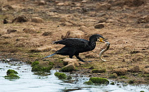 Great cormorant (Phalacrocorax carbo) catching and attempting to eat a European eel (Anguilla anguilla) on the side of a tidal pool. Druidge Pools Nature Reserve, Northumberland, England, UK. August....  -  Roger Powell