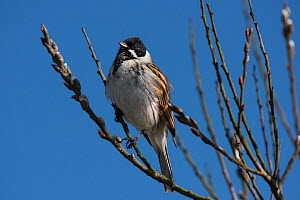 Reed bunting (Emberiza schoeniclus) male looking over breeding territory from a Willow tree in bud. Druridge Pools Nature Reserve, Northumberland, England, UK. March.  -  Roger Powell