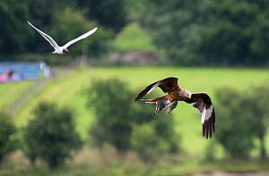 Red Kite (Milvus milvus) flying off with a Black-headed Gull chick (Larus ridibindus) and its parent flying after it. Ken / Dee Marshes Nature Reserve, New Galloway, Scotland, UK. July  -  Roger Powell