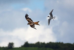 Red Kite (Milvus milvus) hunting for food and Black-headed Gull (Larus ridibindus) trying to drive it away to  protect its chicks . Ken / Dee Marshes Nature Reserve, New Galloway, Scotland, UK. July  -  Roger Powell