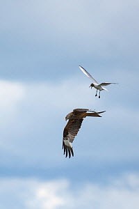 Red Kite (Milvus milvus) hunting for food and Black-headed Gull (Larus ridibindus) trying to derive it away  protect its chicks.  Ken / Dee Marshes Nature Reserve, New Galloway, Scotland, UK. July  -  Roger Powell