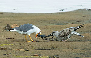 Lesser Black-backed Gull adult (Larus fuscus) disgorging a fish for a juvenile. Druridge Pools Nature Reserve, Northumberland, England UK. August. - Roger Powell