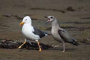 Lesser black-backed gull (Larus fuscus)  with juvenile begging for food. Druridge Pools Nature Reserve, Northumberland, England, UK. August. - Roger Powell