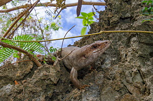Telfair skink (Leiolopisma telfairi), native to Round Island, Mauritius and introduced to the Ile aux Aigrettes Nature Reserve as a part of conservation project to create a new population and to keep... - Laurent Geslin