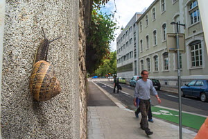 Common snail (Helix aspersa)  on a wall of a street, Grenoble, France.  -  Laurent Geslin