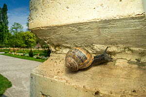 Common snail (Helix aspersa)  on a wall, Grenoble, France. May.  -  Laurent Geslin