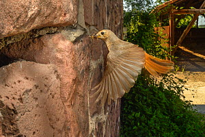 Redstart (Phoenicurus phoenicurus) flying to nest in wall of building,  Strasbourg, France. June - Laurent Geslin