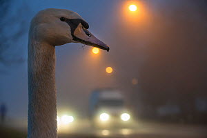 Mute swan (Cygnus olor) next to road in mist Strasbourg, France, December  -  Laurent Geslin