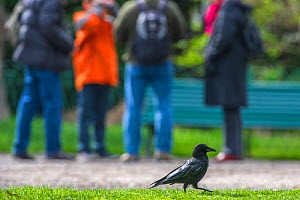 Carrion crow (Corvus corone) in urban park, Grenoble, France, April. - Laurent Geslin