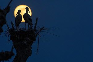 White storks (Ciconia ciconia) pair on nest silhouetted against full moon,  Strasbourg, France. April. - Laurent Geslin