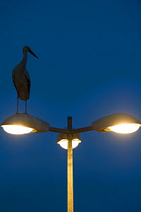 White stork (Ciconia ciconia) on street light at night, Strasbourg, France. April. - Laurent Geslin