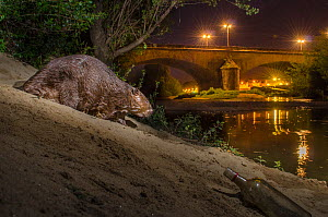 European beaver (Castor fiber) at river bank in urban environment at night, Grenoble, France, August.  -  Laurent Geslin