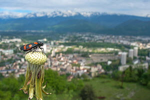Red and black froghopper (Cercopis vulnerata) on dandelion seedhead, with landscape of Grenoble city in background, France, May 2013.  -  Laurent Geslin