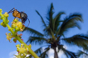 Giant ant (Camponotus maculatus) with palm tree in background, Mauritus.  -  Laurent Geslin
