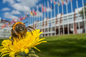 Buff tailed bumblebee (Bombus terrestris) in front of the European parliament building, Strasbourg, France. April.  -  Laurent Geslin