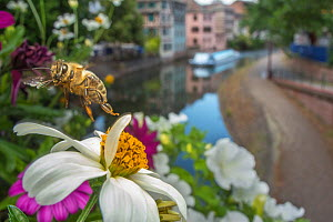 Honeybee (Apis mellifera) taking off from flower with canal in the background, Strasbourg, France. June 2014.  -  Laurent Geslin