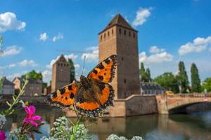 Tortoisehell butterfly (Aglais urticae) with  Ponts Couverts in distance,  Strasbourg, France. June 2014.  -  Laurent Geslin