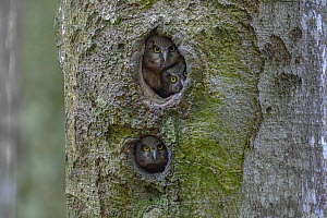 Tengmalm's / Boreal owl (Aegolius funereus) looking out of  nest in tree hollow, Switzerland. May. - Laurent Geslin