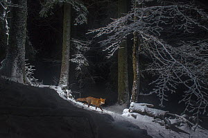 Red fox (Vulpes vulpes) at night in snow, camera trap image, Jura Mountains, Switzerland, August.  Commended in the Mammals category of the Asferico Competition 2016. - Laurent Geslin