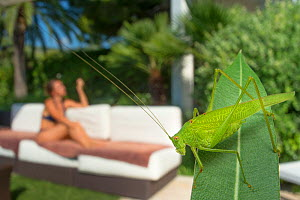 Great green bush cricket (Tettigonia viridissima) in garden with woman sunbathing behind , France. August.  -  Laurent Geslin