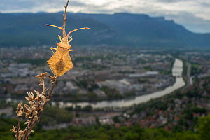 Leatherbug (Syromastes rhombeus) with Grenoble  city in distance, France. 2013.  -  Laurent Geslin