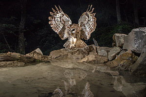 Tawny owl (Strix aluco) stretching wings at pool, camera trap image, Jura Mountains, Switzerland, July.  -  Laurent Geslin