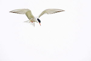 Common tern (Sterna hirundo) flying, Orleans, France, August. - Laurent Geslin