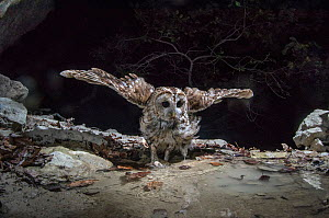 Tawny owl (Strix aluco) stretching wings, camera trap image, Jura Mountains, Switzerland, July.  -  Laurent Geslin