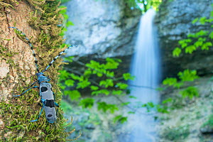 Alpine longhorn beetle (Rosalia alpina) and waterfall, Switzerland, July. - Laurent Geslin