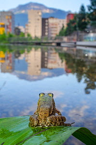 European edible frog (Rana esculenta) in urban park, next to pond with buildings in distance , Grenoble, France, May.  -  Laurent Geslin